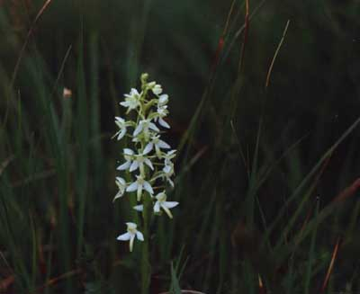 05 Greater butterfly orchid