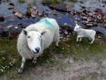 Ewe & lamb at Mellon Udrigle