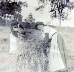 Harvesting at Drynie (Maggie Souter on right).